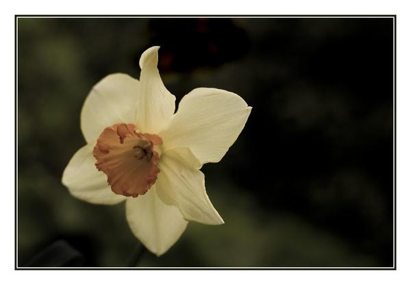 Daffodil 2 by hellfire321