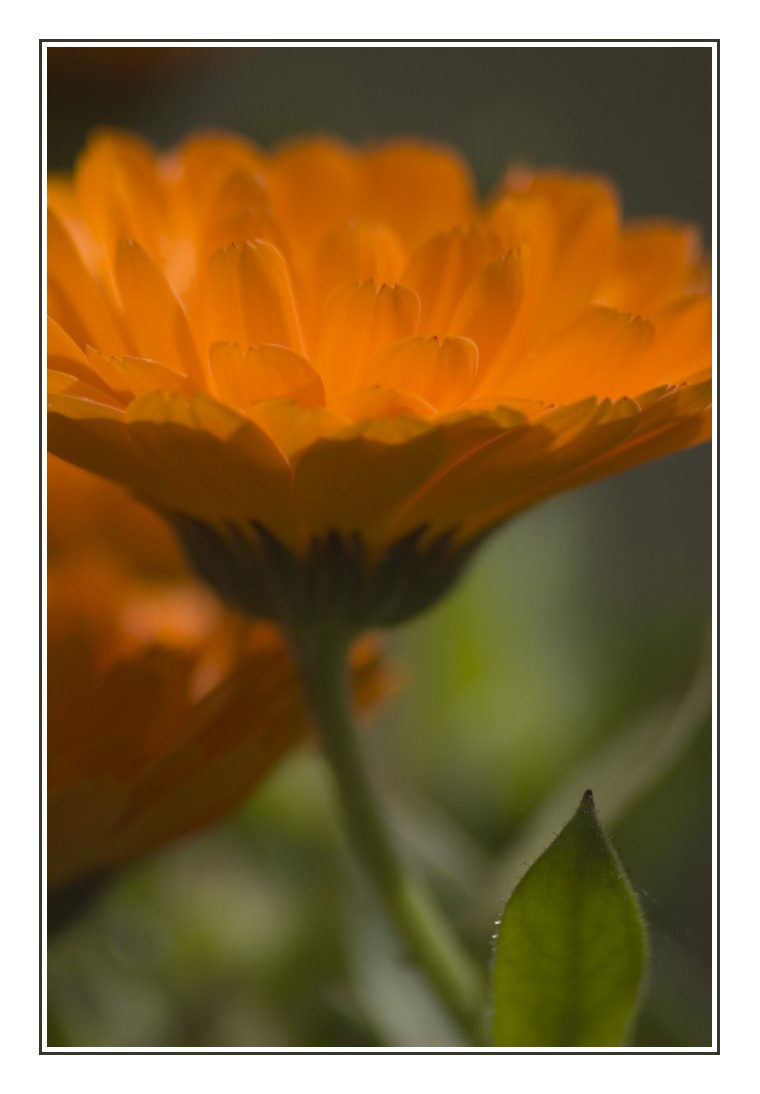 Marigold by hellfire321