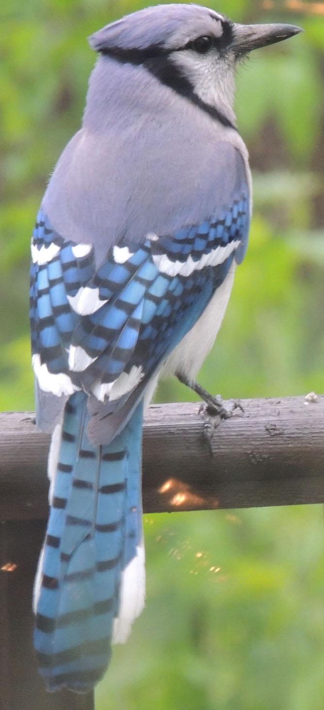 BlueJay by wendigowolf