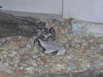 Gaboon Viper by wendigowolf