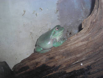 White's Frog by wendigowolf