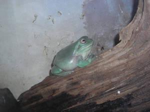 White's Frog