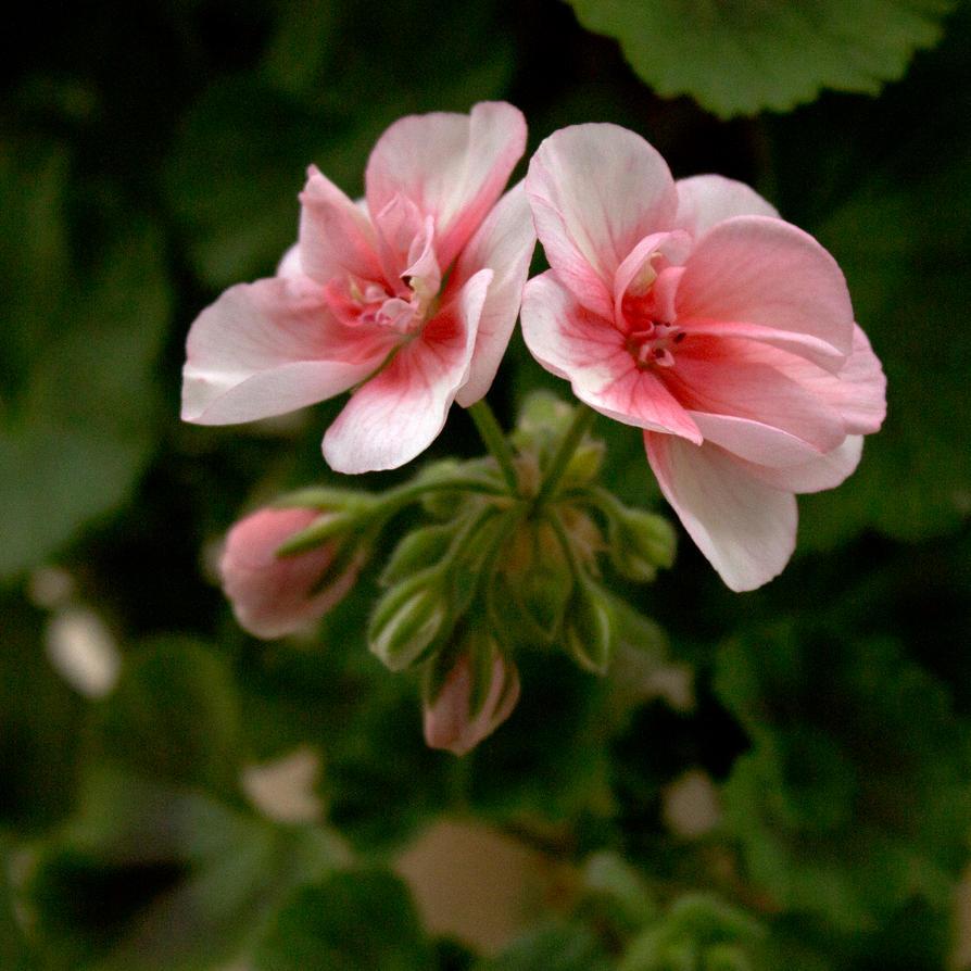 geranium 1 by ltiana355