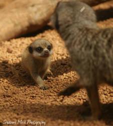 Meerkat Kit