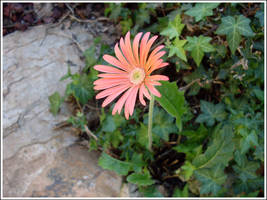 7. Gerbera by fire-works