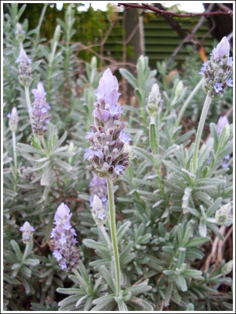 9. Lavender by fire-works