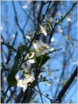 35. White Blossoms