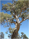 39. River Red Gum