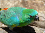 59. Red-rumped Parrot 1