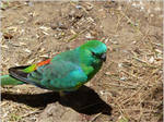 60. Red-rumped Parrot 2
