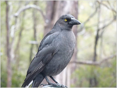 69. Currawong
