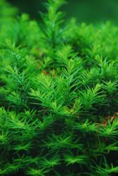 Evergreenest by cyspence