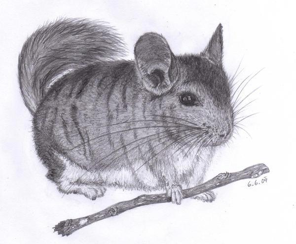 a chinchilla by metlina chan
