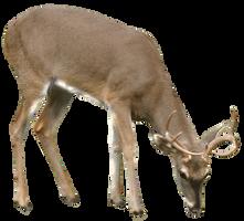 Deer DSC 0405 by GoatDriver