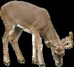 Deer DSC 0405
