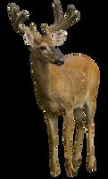 Deer DSC 4255