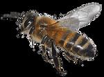 IMG 6931 honey bee3