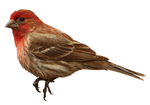 House-Finch 3657 free stock by-GoatDriver