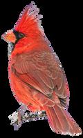 Free Stock Cardinal NoBG1