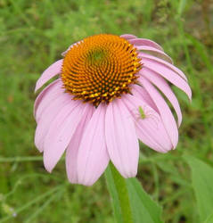 Echinacea with spider by MooseMama