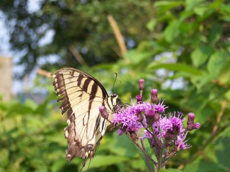 West Virginia Butterfly