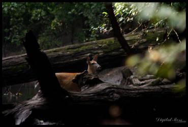 Deer 2 by DigiM355