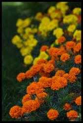 Marigolds by DigiM355