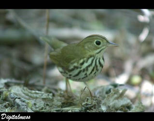 Ovenbird by DigiM355