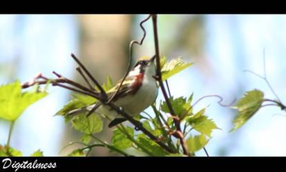 Chestnut-sided Warbler by DigiM355