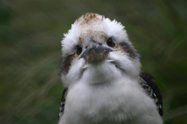Kookaburra at Wellington Zoo by EvokeNZ