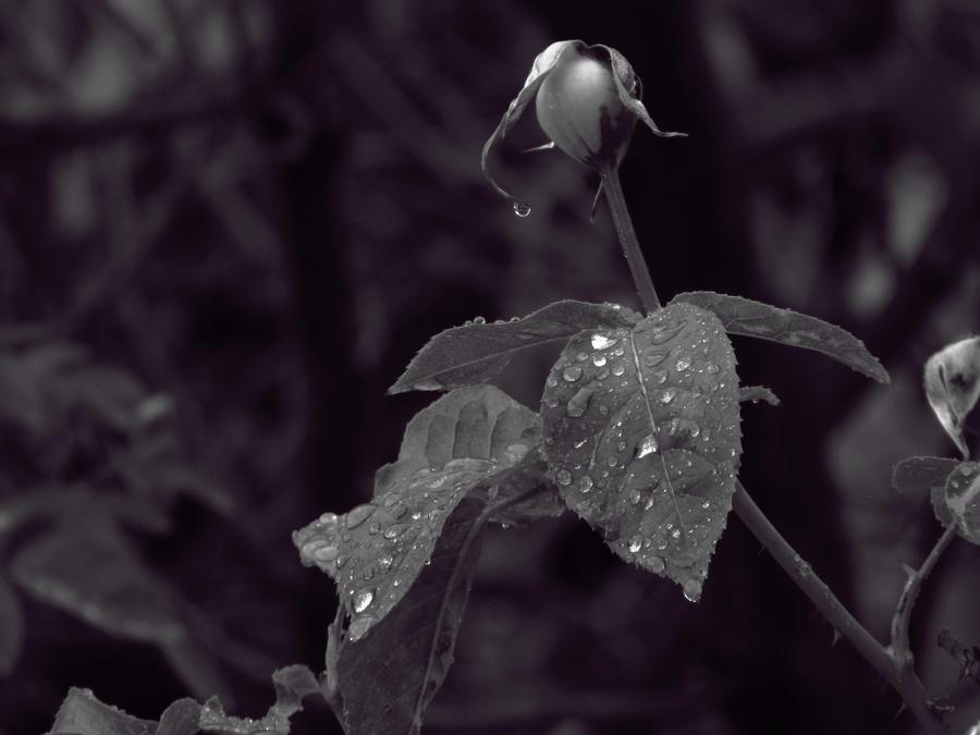 After Rain Rose Leaves