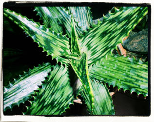 Aloe Hemminglii by FranticMezmer