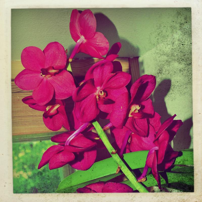 vanda orchidee by franticmezmer on deviantart. Black Bedroom Furniture Sets. Home Design Ideas