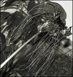 Tacca by FranticMezmer