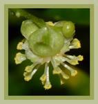 Croton Shine Flower 20