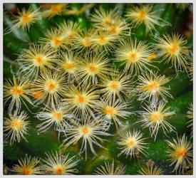 Cactus Stardust by FranticMezmer