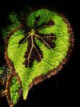 Begonia masoniana by FranticMezmer
