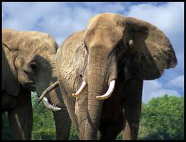 Elephants by GrosPlante