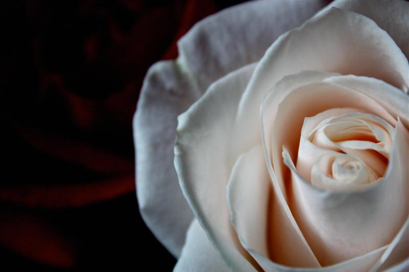 Rose 5 by ChelseaSavage