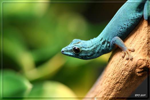 Lygodactylus williamsi 2