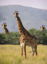 Giraffe by MysticSena