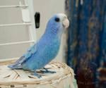Blue parrot by ImeriBridzhet