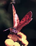 Butterfly again by Nigrita