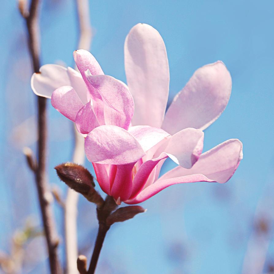 .:magnolia:. by Nigrita