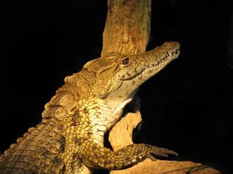 Nile crocodile by giantdragon