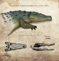 American Crocodile (Cocodrilo de Tumbes)