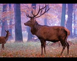 Red Deers by KeldBach
