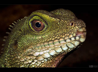 Green Lizard by KeldBach
