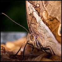 Owl Butterfly Up Close by KeldBach