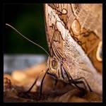 Owl Butterfly Up Close by KeldBach